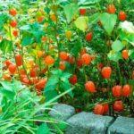 Сколько дней растет рассада помидор