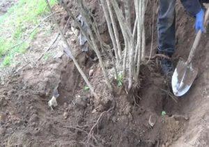 Как правильно посадить рябину весной