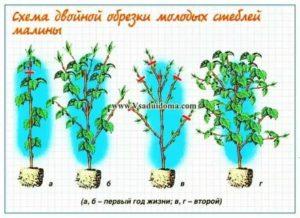 Малиновое дерево посадка и уход фото размножение