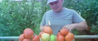 Самые лучшие семена помидоров для теплиц