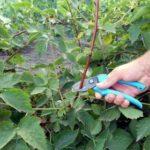 Лучшие семена помидоров для открытого грунта