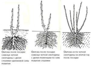 Как правильно посадить куст смородины