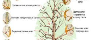 Можно ли обрезать плодовые деревья летом
