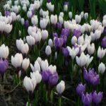 Цветы для газонов