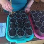 Посев земляники на рассаду