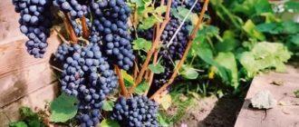 Сорта винограда в сибири