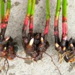 Как посадить помидоры под пленку