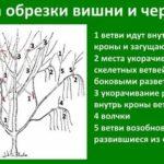 Образование кочана капусты