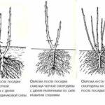 Как выращивать физалис на даче