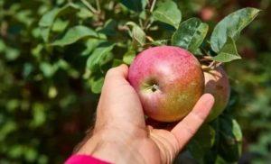 Почему яблони не плодоносят