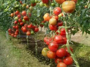 Какие самые урожайные помидоры на урале