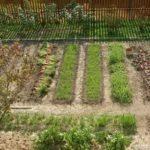 Поздние сорта цветной капусты