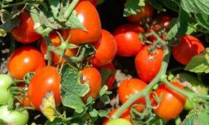 Украинские сорта помидор