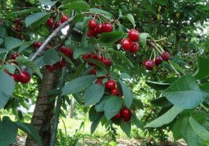 Дерево вишни уход