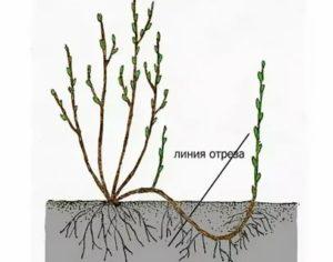 Размножение красной смородины