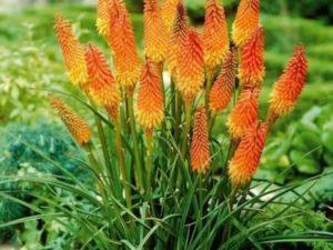 Выращивание многолетних цветов