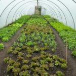 Выращивание капусты на урале