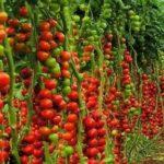 Как посадить смородину черенками весной видео