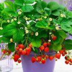 Почему сохнут листья у томатов