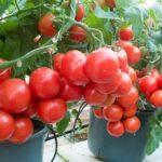 Выращивание колокольчиков