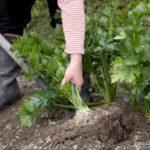 Выращивание клюквы из семян