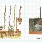 Выращивание дынь в открытом грунте