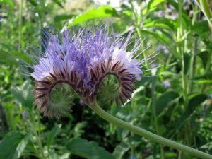 Фацелия выращивание из семян