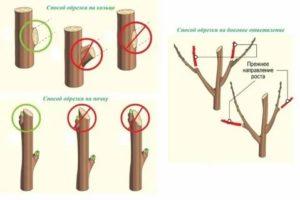 Правильная обрезка плодовых деревьев весной