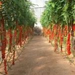 Посадка семян помидор на рассаду