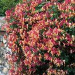 Многолетние цветы для газонов