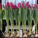 Если луковицы тюльпанов замерзли