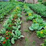 Помидоры посадка выращивание