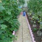 Пионы выращивание