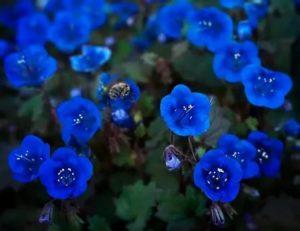 Цветок фацелия колокольчатая