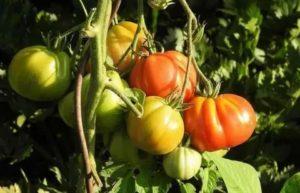 Лучшие сорта томатов для среднего поволжья