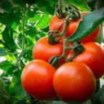 Малиновые помидоры