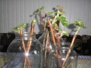 Размножение смородины черенками в домашних условиях