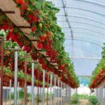 Суперранние сорта помидор