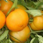 Лучшие семена помидор для открытого грунта отзывы