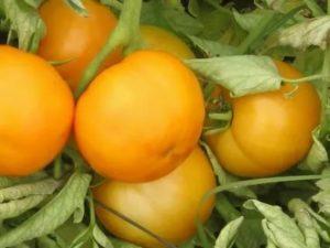 Засолочные сорта томатов для теплиц