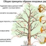 Как получить семена капусты белокочанной