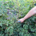 Получение своих семян томатов