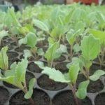 Выращивание рассады капусты в теплице