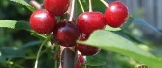Плодовые деревья средней полосы россии