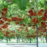 Названия сортов томатов