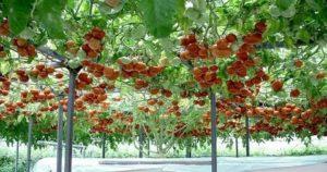 Помидорное дерево в открытом грунте