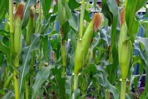 Кукуруза выращивание в сибири