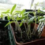 Как из помидор сделать семена