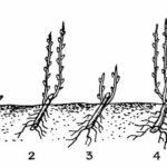Болезни коры плодовых деревьев лечение