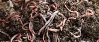 Дождевые черви удобрение